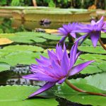 water-lilies-1585165_640